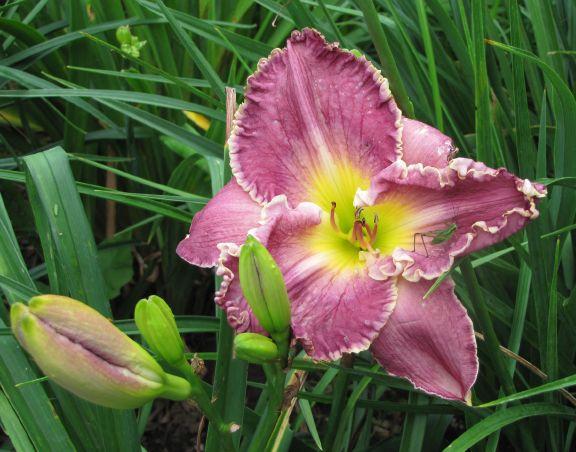 peggy shea daylily 7-13